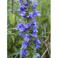 """Great Blue Lobelia (Lobelia siphilitica) (2"""" X 5"""")"""