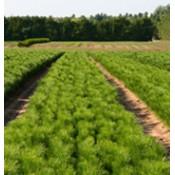 Bareroot Seedlings (27)