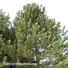 Austrian Pine (3+0)