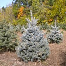 Colorado Spruce (P+2)