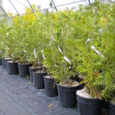 Eastern White Cedar (3 gallon)