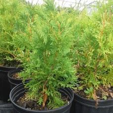 Eastern White Cedar (2 gallon)