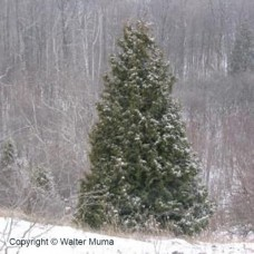 Eastern White Cedar (P+1.5)
