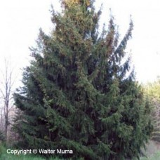 Norway Spruce (3+0)