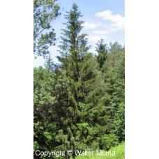 Norway Spruce (60cm+)