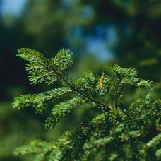 Red Spruce (P+1.5)