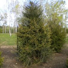 Red Cedar (3+0)
