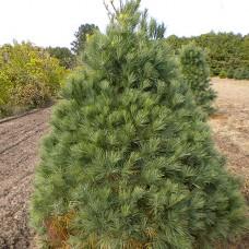 White Pine (3+0)