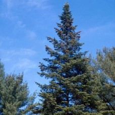 White Spruce (5 gallon)
