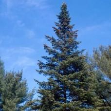 White Spruce (P+1)