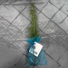 Tree - in organza bag