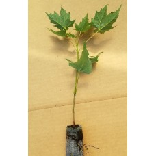 Greenhouse Plug - Hard (Sugar) Maple