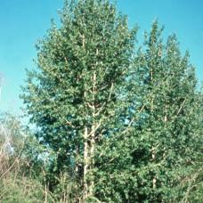 Balsam Poplar (2 gallon)