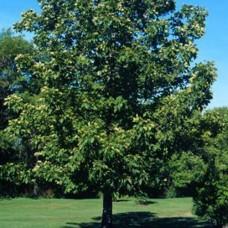 Bitternut Hickory (2+0)