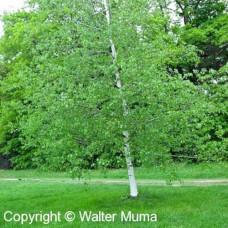 Gray Birch (2 gallon)