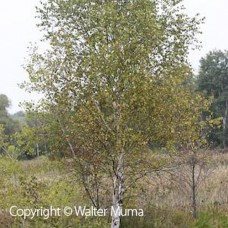 White Birch (2 gallon)