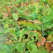 Bareroot Seedlings (21)