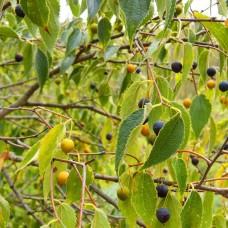 Hackberry (5 gallon)