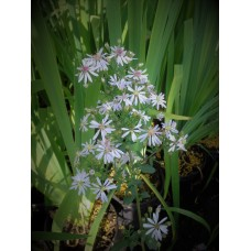 Blue Wood Aster (Symphyotrichum cordifolium) (1 gallon)