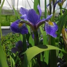 """Flag, Blue (Iris versicolor) (2"""" X 5"""")"""