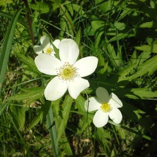 "Canada anemone (4"")"