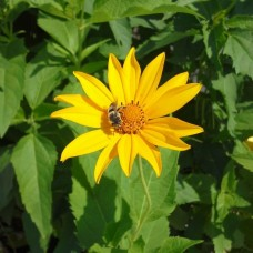 "Oxeye or False Sunflower (Heliopsis helianthoides) (2"" X 5"")"