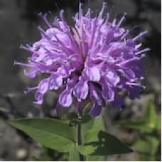 """Bergamot, Wild (Monarda fistulosa) (2"""" X 5"""")"""