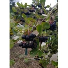 Black Chokeberry (1 gallon)