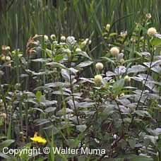 Buttonbush (1 gallon)