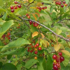 Chokecherry (2 gallon)