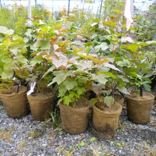 Highbush Cranberry (2 gallon)