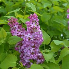 Lilac (1 gallon)