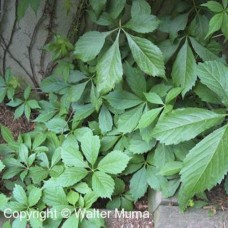 Virginia Creeper (1 gallon)